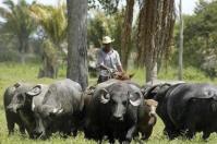 Carne de búfalo es la de mayor proteína, USDA, mayor rentabilidad, duplica ganancia diaria de peso por animal, aumento de sacrificio de búfalos, consumo anual, carne con omega 3 y 6, CONtexto Ganadero, noticias de ganadería colombiana.