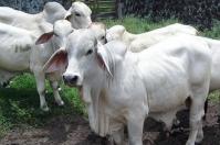Ganadería, ganadería colombia, Ganadería colombiana, CONtexto ganadero, noticias ganaderas, noticias ganaderas colombia, ganaderos, ganaderos colombia, ganaderos meta, ganadería meta, Meta, crecimiento ganaderia meta, productores meta