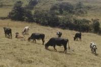 Ganaderos Sutatausa 2021, ganaderos Sutatausa Cundinamarca, ganaderos Cundinamarca verano, ganaderos verano, ganaderos afectados por el verano, Asociación de Ganaderos de Sutatausa, falta de forraje, verano ganaderos, ganaderos Cundinamarca heladas 2021, ganaderos verano 2021, ganaderos, ganaderos colombia, ganado, bovinos, ganado bovino, Ganadería, ganadería colombia, noticias ganaderas, noticias ganaderas colombia, CONtexto ganadero, contextoganadero
