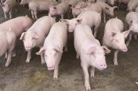 Cierre de vía al Llano, millonarias pérdidas por cierre de vía al Llano, afectación sector agro, sector porcícola del Meta, porcicultores del Meta, porkcolombia