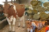 Ayrshire, Costos de Producción, leche, dólar, importados, concentrados, abonos, medicamentos, fedegan, Analac, Minagricultura, Genética, embriones, semen, demanda interna, renegociación, TLC, aranceles, subsidios, Ganadería, ganadería colombia, noticias ganaderas colombia, CONtexto ganadero