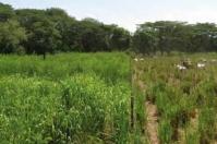 Sistemas silvopastoriles intensivos (SSPi), criterios presentes en los Sistemas Silvopastoriles, La intencionalidad, la intensividad, la integridad, la interactividad sistema agroforestal pecuario, producción de carne y leche, madera, frutas y otros bienes asociados beneficios al medio ambiente, beneficios a la actividad productiva de la ganadería, SSPi estratos, SSPi estrato herbáceo, SSPi estrato de arbustos SSPI árboles en la periferia, divisiones de potreros, cercas vivas, agua. prácticas agroforestales