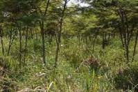 Sistemas silvopastoriles intensivos (SSPi), sistema agroforestal pecuario, producción de carne y leche, madera, frutas y otros bienes asociados beneficios al medio ambiente, beneficios a la actividad productiva de la ganadería, SSPi estratos, SSPi estrato herbáceo, SSPi estrato de arbustos SSPI árboles en la periferia, divisiones de potreros, cercas vivas, agua. prácticas agroforestales, Ganadería, ganadería colombiana, noticias ganaderas, noticias ganaderas Colombia, CONtexto ganadero