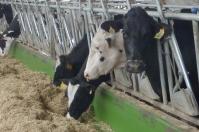 Fibra en vacas en periparto, alimentación en vacas en periparto, adecuada alimentación en periparto, Adecuada alimentación para mejorar reproducción, oferta forrajera para vacas reproductivas, ganado de cría, deficiencia de fibra en vacas, fibra preparto vacas, vacas en preparto, CONtexto ganadero, ganaderos colombia, noticias ganaderas Colombia
