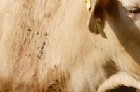 Ganadería, ganadería colombia, noticias ganaderas, noticias ganaderas colombia, CONtexto ganadero, garrapatas, combatir las garrapatas, remedios contra las garrapatas, azufre para garrapatas