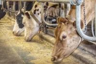 Efecto de las grasas en bovinos, grasas ganado, grasas ganadería, alimentación ganado, Consumo grasa bovinos, límite consumo grasa bovinos, Exceso energía en preparto vacas, Balance Energético Negativo, metabolismo hepático, aminoácidos esenciales, consumo materia seca, producción ganadera, alimentos para ganado bovino, alimentos para las vacas, CONtexto ganadero, ganaderos colombia, noticias ganaderas colombia