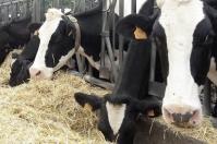 Eficiencia alimenticia, eficiencia alimenticia ganado, Eficiencia alimenticia ganado leche, producción de leche bovina, claves para mayor eficiencia alimenticia en ganado lechero, cálculo eficiencia alimenticia, eficiencia de conversión, retorno económico ganadería, mayor producción de leche, adaptación de las vacas, costumbre de las vacas, mejorar eficiencia de conversión, pastoreo eficiente, CONtexto ganadero, ganaderos Colombia, noticias ganaderas Colombia