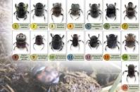 Ganadería, ganadería colombia, Ganadería colombiana, CONtexto ganadero, noticias ganaderas, noticias ganaderas colombia, escarabajos, escarbajos estercoleros, escarabajos bajo magdalena, excarabajos rio cesar, sistema silvopastoril, ganaderos, ganaderos colombia