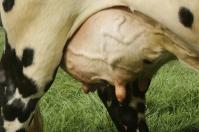 Nutrientes ubre, uso de nutrientes vacas, uso de nutrientes, digestión de nutrientes, ubre vaca, vaca lechera, anatomía de la ubre, lechería Colombia, producción leche Colombia, glucosa, aminoácidos, ácidos grasos de cadena larga, triglicéridos, CONtexto ganadero, ganaderos colombia, noticias ganaderas colombia