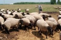 reproducción de los ovinos, métodos de reproducción de los ovinos, hembras ovinos, oveja de pelo colombianos, ovejas criollas fértiles, ovejas criollas colombianas