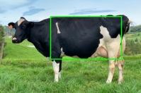 vaca lechera, vaca lechera rectangular, vacas en forma de cuña, biotipo de la vaca lechera, vacas más lecheras, ubre de la vaca, dorso de la vaca lechera