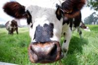 ganadería, ganadería colombia, noticias ganaderas, noticias ganaderas colombia, contexto ganadero, genotipo 2, diarrea viral bovina, DVB. Pestivirus, Viviana Villamil, magíster en Salud Animal de la UN, diarrea viral bovina en Colombia, virus de la diarrea viral bovina,