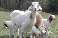 Ganadería, ganadería colombia, Ganadería colombiana, CONtexto ganadero, noticias ganaderas, noticias ganaderas colombia, dieta ovinos, sistemas silvopastoriles produccion ovina, alimentación ovina, experimento ovinos, ganaderos, ganaderos colombia, productores ovinos