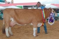 Vaca Chantal, única medalla de oro del país, raza Simmental, genética sobresaliente, descendencia en pistas, gran productora de leche, Fertilización In vitro, noticias de ganadería colombiana, CONtexto ganadero.
