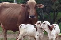Evitar partos gemelares en vacas, partos de gemelos en vacas, partos gemelares en bovinos, abortos vacas, gestación gemelar vacas, vacas melliceras, terneros mellizos macho y hembra, partos trillizos en bovinos, preñeces múltiples en bovinos, gestaciones múltiples en bovinos, gemelos bovinos, mellizos bovinos, coronavirus, coronavirus Colombia, COVID-19, cuarentena, Ganadería, ganadería colombia, noticias ganaderas, noticias ganaderas colombia, CONtexto ganadero
