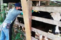 Vacunación anti aftosa podría haber superado los 28,8 millones de bovinos, estadísticas aproximadas, vacunación contra aftosa, resultados definitivos, gran cobertura, inmunización del hato colombiano, rueda de prensa, alianza público-privada, noticias de ganadería colombiana, CONtexto ganadero.