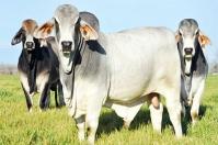 Ganadería, ganadería colombia, noticias ganaderas, noticias ganaderas colombia, CONtexto ganadero, toro ideal, escoger al toro ideal, características del toro ideal, cómo escoger al toro ideal, qué se busca con el toro ideal, Ganadería regenerativa, manuel molina, ray rodríguez