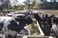 Ganadería, ganadería colombia, noticias ganaderas, noticias ganaderas colombia, CONtexto ganadero, Bienestar Animal, normas bienestar animal, bienestar animal la europea, unión europea, importación de productos bienestar animal, importación vacunos unión europea
