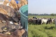 Destete precoz carga animal, destete precoz carga potreros, destete precoz, apartar el ternero de la vaca, aumentar los kilos de ternero destetados por hectárea, preñez, parición, incremento del porcentaje de preñez, adelantar de la parición, etapa a corral, etapa de acostumbramiento, beneficios del destete precoz, ventajas deteste precoz, estudios destete precoz ganado, ganaderos, ganaderos colombia, ganado, bovinos, ganado bovino, Ganadería, ganadería colombia, noticias ganaderas, noticias ganaderas colom