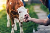 Ganadería, ganadería colombia, noticias ganaderas, noticias ganaderas colombia, CONtexto ganadero, acariciar al ganado, importancia de consentir al ganado, consentir a los terneros, consentir las crías del ganado, mundo agropecuario,