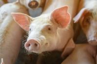 Circovirus Porcino, PCV3, efectos del circovirus porcino en humanos, circovirus porcino humanos, detección circovirus porcino, diagnóstico circovirus porcino, qué es circovirus porcino, define circovirus porcino, circovirus cerdos, circovirus, cerdos, ganaderos, ganaderos colombia, ganado, vacas, vacas Colombia, bovinos, ganado bovino, Ganadería, ganadería colombia, noticias ganaderas, noticias ganaderas colombia, CONtexto ganadero, contextoganadero