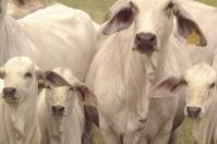 Ganadería, ganadería colombia, noticias ganaderas, noticias ganaderas colombia, CONtexto ganadero, reproducción, Reproducción Bovina, anestro lactacionall, problemas en la revoluación bovina, estrés calórico en bovinos, estrés ambiental en bovinos, estrés nutricional en bovinos, destete en novillas, reproducción en novillas, dias abiertos en novillas, problemas reproductivos en novillas