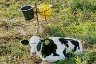 Ganadería, ganadería colombia, noticias ganaderas, noticias ganaderas colombia, CONtexto ganadero, producción ganadera, Productividad ganadera, probióticos, bondades de los probióticos, probióticos para bovinos, probióticos exitosos para los bovinos, probioticos para terneros