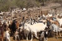 Un equipo de investigadores del INTA analizó el perfil mineral del ganado caprino en cinco provincias argentinas y lo relacionó con las principales enfermedades diagnosticadas. Esta información servirá para ajustar la suplementación en las distintas regiones de ese país.