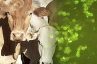 ganaderos, ganaderos colombia, ganaderos colombianos, CONtexto ganadero, Ganadería, ganadería colombia, noticias ganaderas, noticias ganaderas colombia, Búfalos, argentina, herpesvirus, herpesvirus bufalos argentica, herpesvirus bufalo contagia bovinos