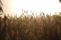 ganadería, ganadería colombia, noticias ganaderas, noticias ganaderas colombia, contexto ganadero, cosecha, cosecha en época de coronavirus, inta, covid-19, cuidados cosecha coronavirus,