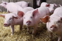 Peste Porcina Africana en Alemania 2020, Alemania Peste Porcina, Alemania PPA, exportación carne de cerdo, exportación carne porcina, China PPA, exportaciones carne China, Polonia PPA, exportación de cerdos en Alemania, exportación de carne porcina de Alemania, exportaciones de carne de la Unión Europea, ganado bovino, ganadería bovina, Ganadería, ganadería colombia, noticias ganaderas, noticias ganaderas colombia, CONtexto ganadero, contextoganadero