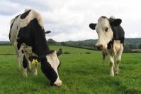 ganadería, ganadería colombia, noticias ganaderas, noticias ganaderas colombia, contexto ganadero, leche, producción de leche en reino unido, reino unido, leche reino unido, emisiones de gei, reducir emisiones de gei en ganadería,