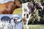 Mejores toros, mejor toro gyr, mejor toro angus, mejor toro holstein, mejor toro brahman, Sansao, Arlinda Chef, Cardinal, mejor ganado bovino, best Bulls, mejores toros para reproducción, mejores toros en la historia, ganado bovino, ganadería bovina, carne, leche, ganaderos, ganaderos colombia, ganado, vacas, vacas Colombia, bovinos, Ganadería, ganadería colombia, noticias ganaderas, noticias ganaderas colombia, CONtexto ganadero, contextoganadero