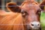 fiebre aftosa, ganadería, inta, Revista RIA, SENASA, Fiebre aftosa: el riesgo sigue vivo para la ganadería mundial, Contexto ganadero, noticias ganaderas, ganadería, vacas