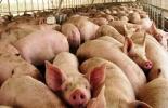 Ganadería, ganadería colombia, noticias ganaderas, noticias ganaderas colombia, CONtexto ganadero, porcinos, porkcolombia, porkcolombia sucre, cerdos sucre, cría de cerdos sucre, producción de cerdos sucre, sector porcícola sucre