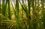 Colombia, arroz, plan de ordenamiento de la producción de arroz para 2019, condiciones especiales para la siembra y además tasa subsidiada con las líneas A Toda Máquina y Coseche, Venda Fija y a todos los instrumentos que el Gobierno ha dispuesto para apoyar esta política, Contexto ganadero, noticias ganaderas, agricultura