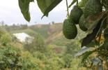 Colombia, Santander, aguacate criollo, muerte de arboles de aguacate criollo, ICA recomienda modernizar y tecnificar plantaciones de aguacate criollo, contexto ganadero, noticias ganaderas, agricultura