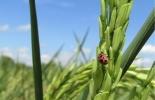 """Colombia, Arroz, semilla de arroz ilegal, Semilla ilegal """"plaga"""" devastadora para los arroceros, ICA, Fedearroz, Acosemillas, semilla certificada, CONtexto ganadero, noticias ganaderas, agricultura"""