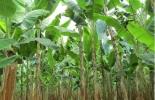 Colombia, plátano, conclusiones III Foro departamental del Cultivo de Plátano, Agrosavia, CONtexto ganadero, noticias ganaderas colombianas, agricultura, plátano