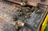 Colombia, 1er Congreso de Apicultura Intercontinental, las abejas están muriendo, La producción melífera y su función polinizadora son indispensables para la alimentación humana, AGROSAVIA, conservación de la especie Apis, crear conciencia sobre la importancia ambiental, cultural y productiva de las abejas, CONtexto ganadero, agricultura
