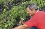 Agrosavia, materiales de cítricos de Agrosavia, emergencia fitosanitaria, enfermedad HLB en cítricos, enfermedad Huanglongbing