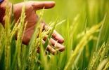 Belanty, BASF, molécula fungicida, cultivo del arroz, arroz Colombia, Revysol, Soluciones para la Agricultura de BASF, Colombia, arroz, plan de ordenamiento de la producción de arroz para 2019, productores arroz Colombia, agricultura arroz Colombia, Contexto ganadero, ganaderos Colombia, noticias ganaderas Colombia