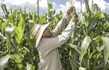 maíz, cobertura, Minagricultura, financiación, precios, tasa de cambio, mercados, maíz blanco, maíz amarillo, incentivo, opciones, pérdidas, revaluación, Ganadería, ganadería colombia, noticias ganaderas colombia, CONtexto ganadero