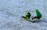 Hormigas, control biológico, Francisco Pescio, INTA AMBA, regular su población de hormigas, Estrategias alimenticias, hormigas negras, hormigas defoliadoras, los cebos, honguera, penicilium sp, vacas, vacas Colombia, bovinos, ganadería bovina, ganadería bovina Colombia, noticias ganaderas, noticias ganaderas Colombia, contextoganadero