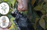 Ganadería, ganadería colombia, noticias ganaderas, noticias ganaderas colombia, CONtexto ganadero, acodo, tipos de acodo, para qué sirve el acodo, como hacer el acodo, acodo plantas, aumentar producción de plantas, carlos luis boschi, ventajas del acodo, cultivos que se pueden propagar con el acodo