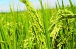 Producción de arroz Colombia