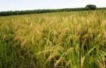 Cultivos de arroz