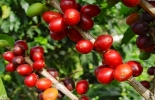 exportaciones de café latinoamérica
