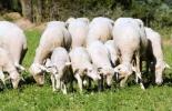 La producción de oveja y cabra incrementa en el país desde 2006