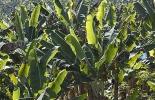 La fibra del plátano en la industria